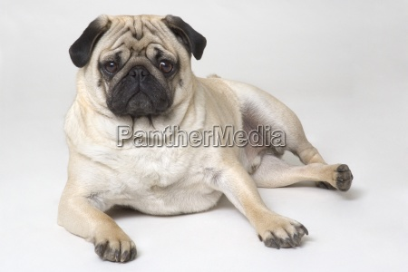 pedigree pug dog