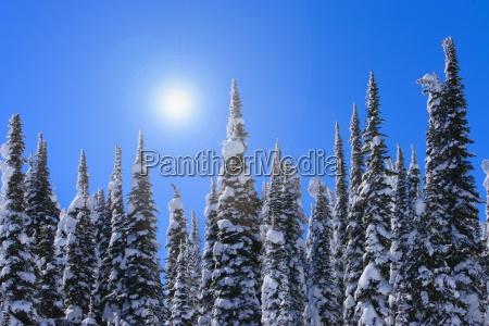 alberi sempreverdi alti con neve su