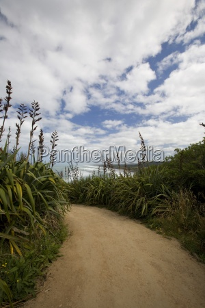flax growing beside a path muriwai