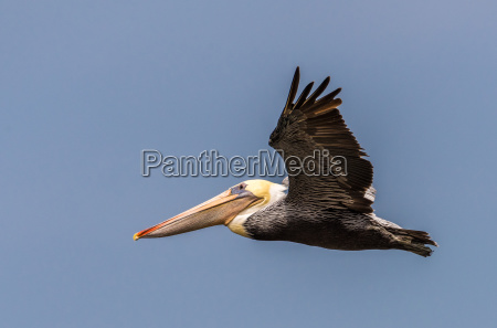colorful brown pelican flying