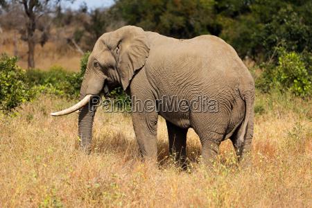 elefante toro africano