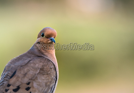 mourning dove close up on green