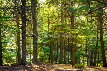albero alberi pino sempreverde estate pini