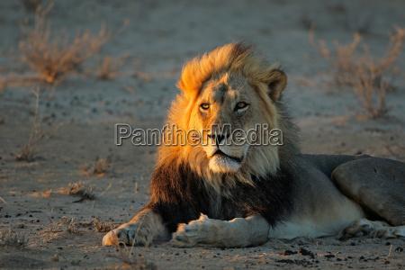 leone africano alla luce del mattino