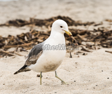 seagull walking in the sand