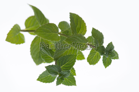 fresh peppermint isolated on a white