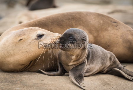 sea lion baby and mom giving