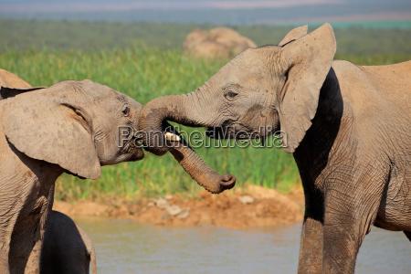 gli elefanti africani giocano a combattere