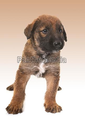 cucciolo belga pastore cane laekenois