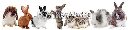 gruppo di conigli
