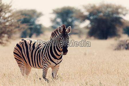zebra nella boscaglia fauna selvatica della