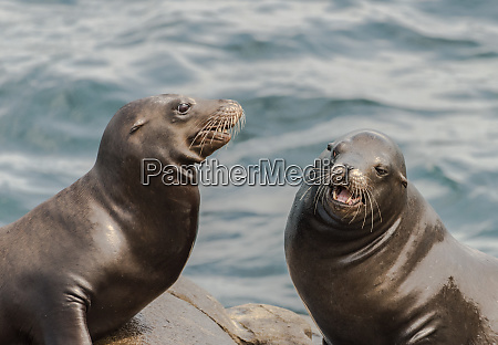 two sea lions