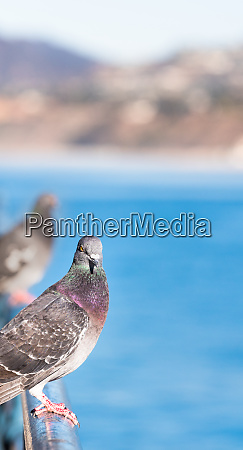 pigeon perched with the beach and