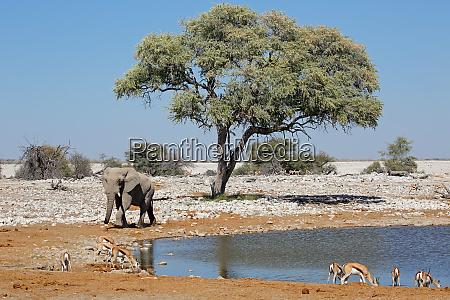 antilopi di elefanti e springbok