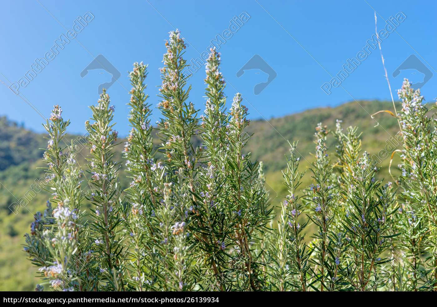 blooming, rosemary, bushes - 26139934