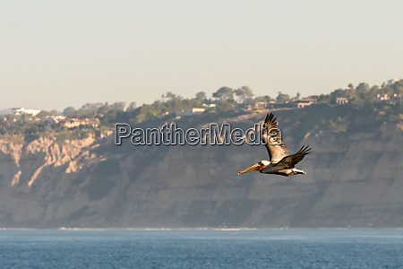 brown pelican flying over the pacific