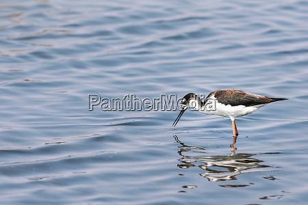 black necked stilt bird wading in