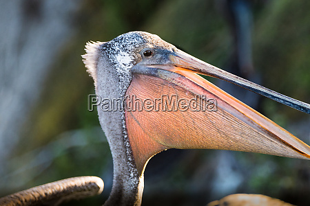 brown pelican close up showing its