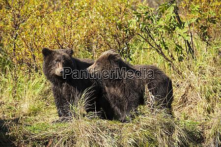 kodiak, bear, cubs, (ursus, arctos, middendorffi) - 26251311