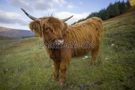 regno unito scozia highlands bovini altopiani