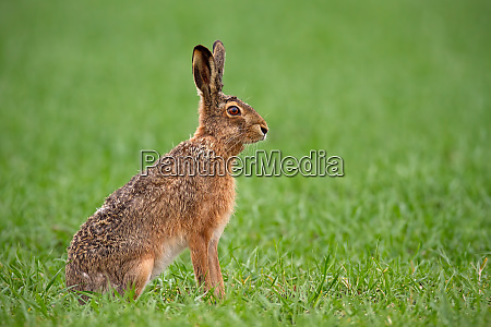 lepre marrone europea lepus europaeus in