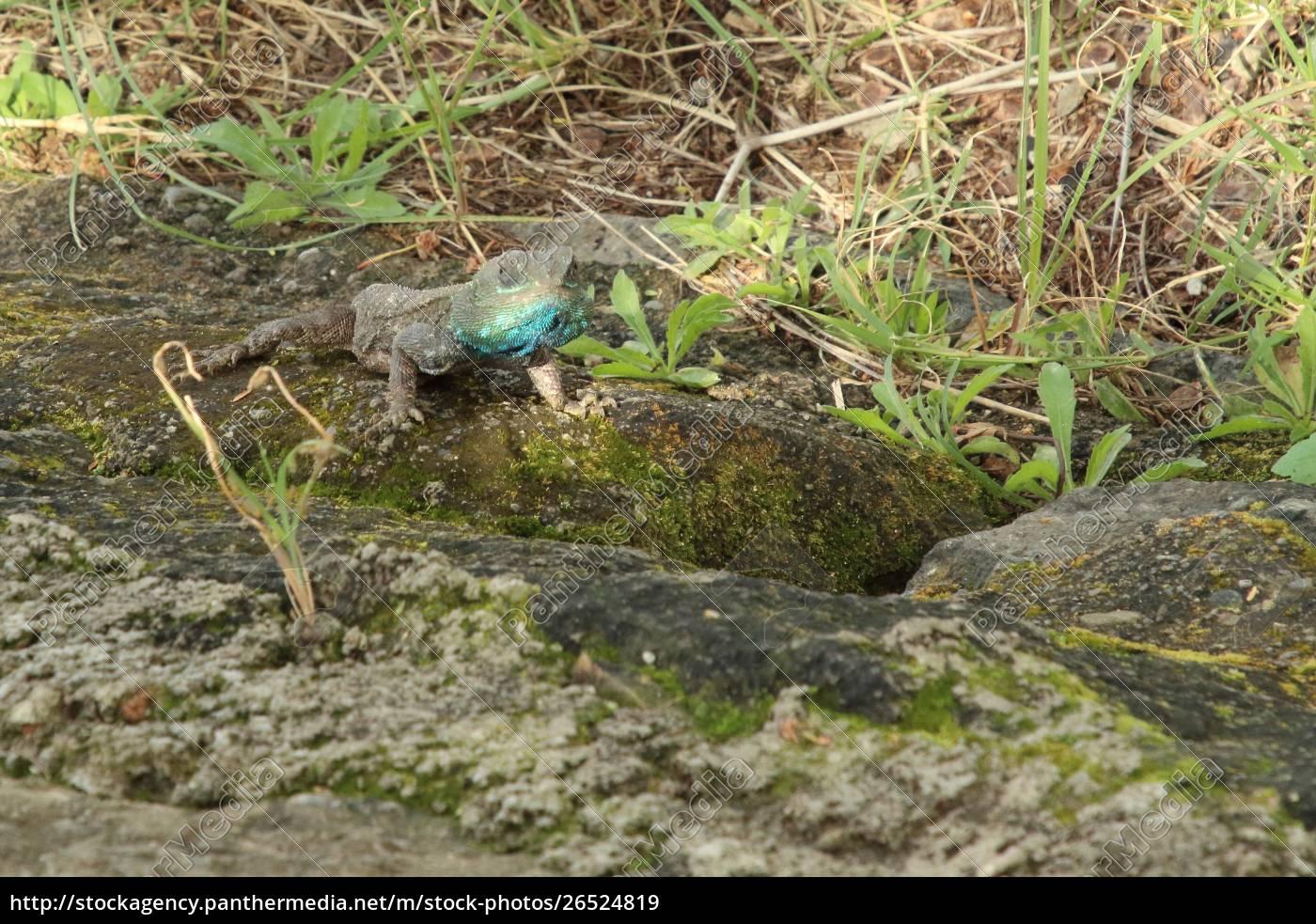 chameleon, presso, la, zona, del, lago - 26524819