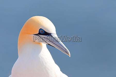 gannet settentrionale helgoland germania