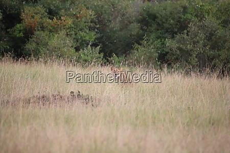 i, leoni, sono, ben, mimetizzati, nell'erba - 26588786