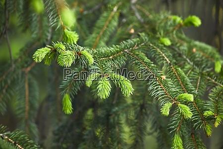 primo piano dellalbero di pino