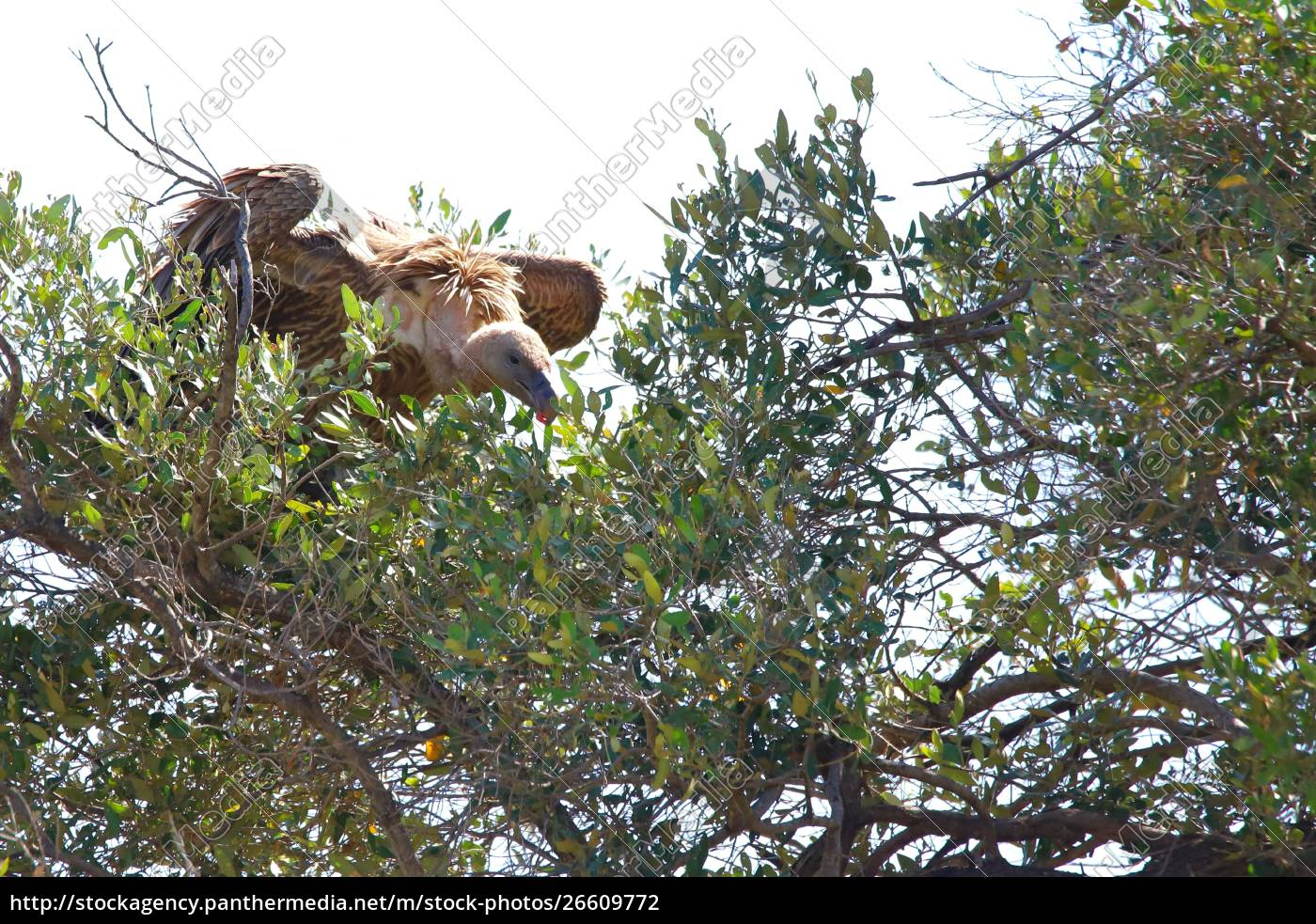avvoltoio, seduto, su, un, albero, nel - 26609772