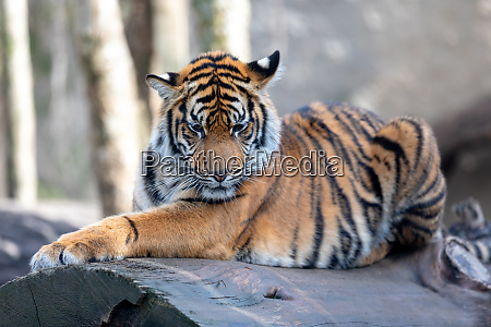 tigre di sumatra panthera tigris sumatrae