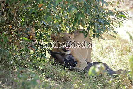 two lions with prey under a