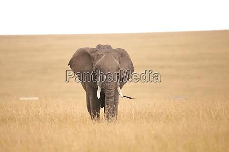 african, elephant, in, the, savannah - 26641542