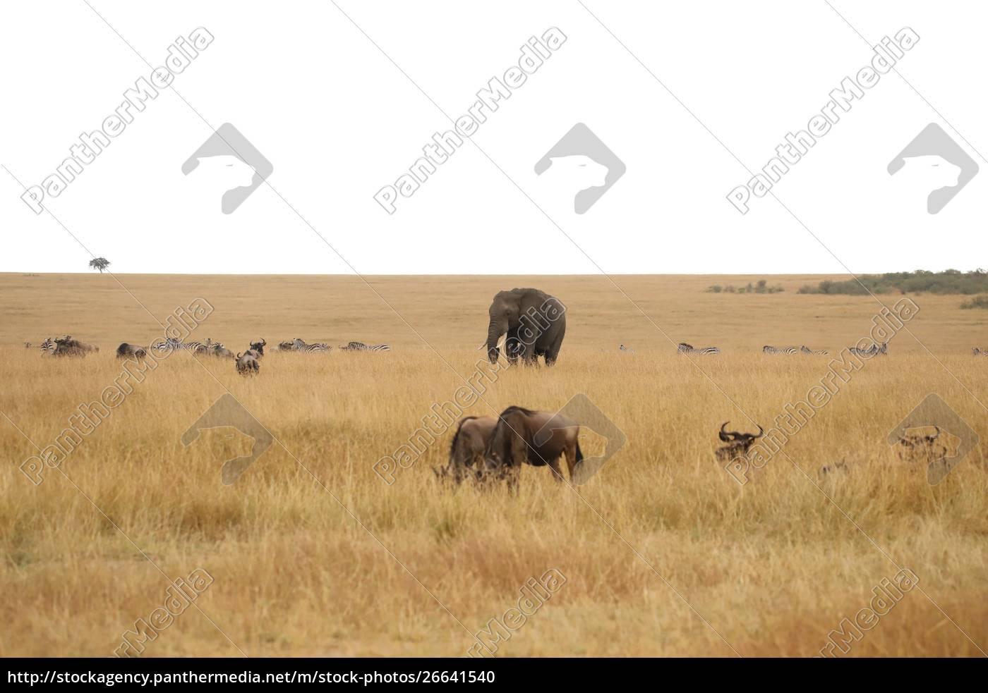 elefante, gnus, e, zebre, nella, savana, del - 26641540
