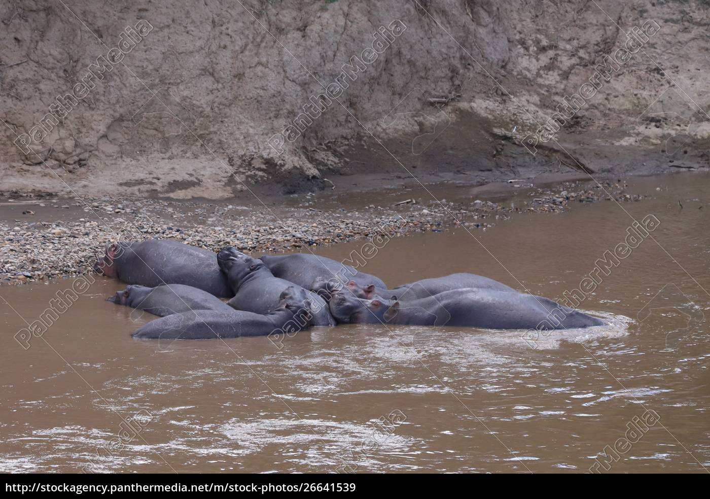 group, of, lying, hippos, in, the - 26641539
