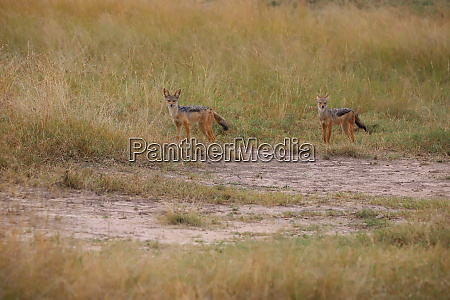 two, black-backed, jackals, in, the, kenyan - 26660485