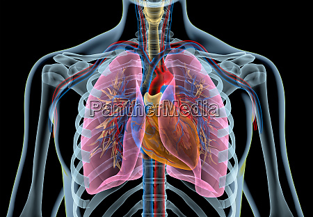 cuore umano con vasi polmoni bronchio