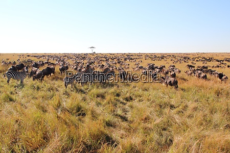 great migration in the maasai mara