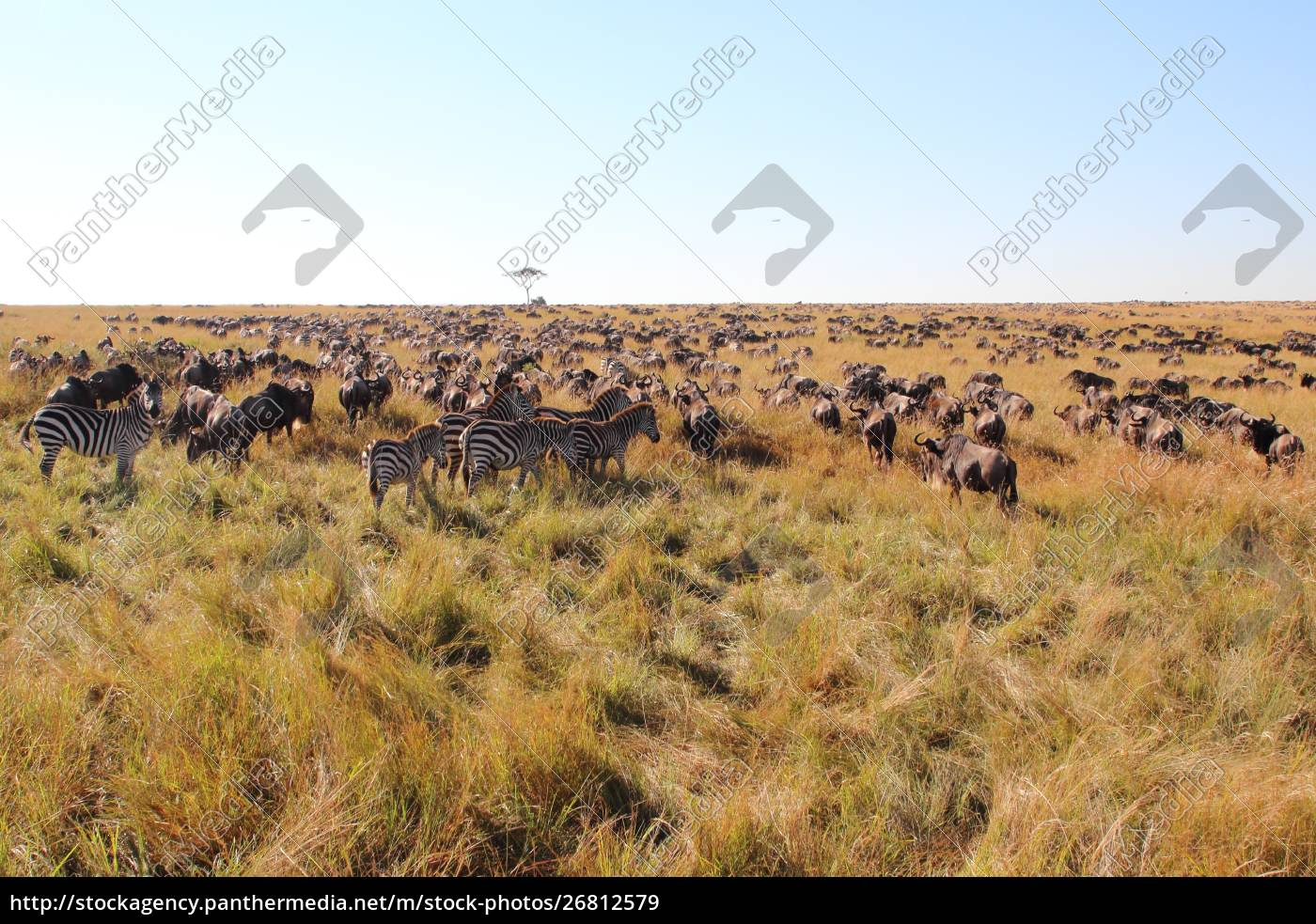 great, migration, in, the, maasai, mara - 26812579