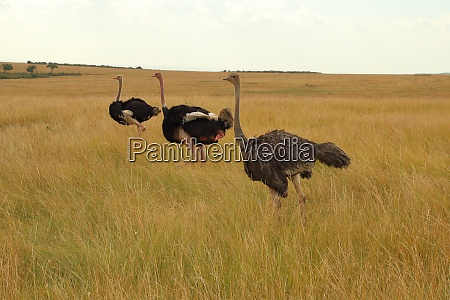 three masai ostriches in the masai