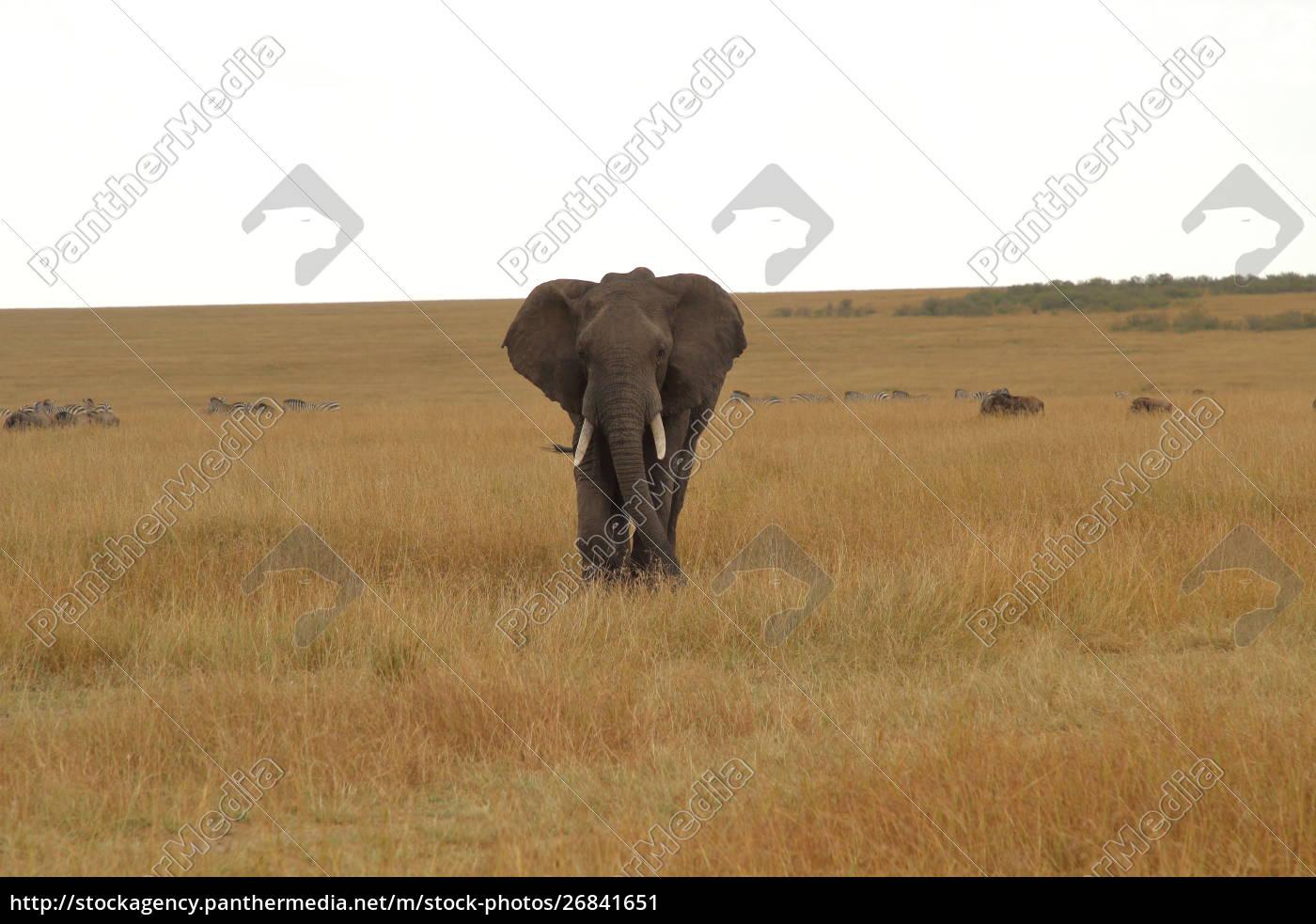 elefante, africano, in, un'ampia, pianura, in - 26841651