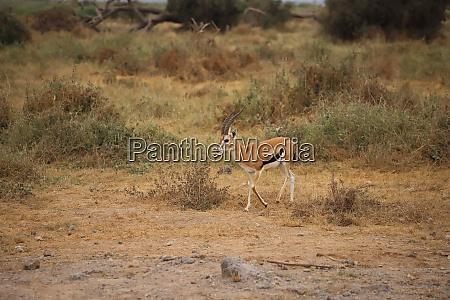 thomson's, gazelle, in, amboseli, national, park - 26845899