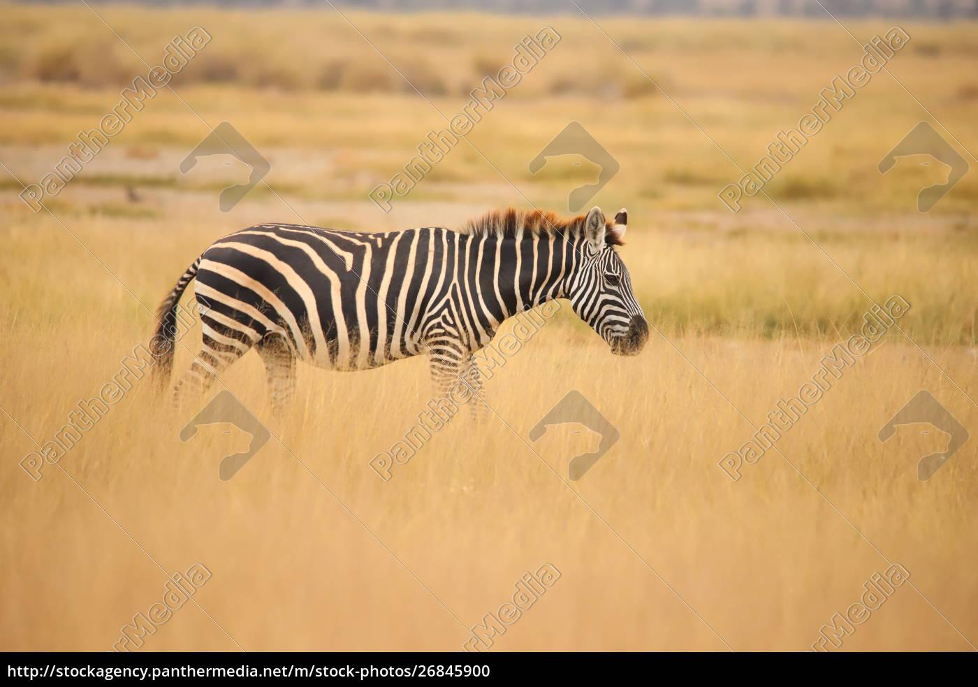 zebra, in, the, grassland, of, amboseli - 26845900