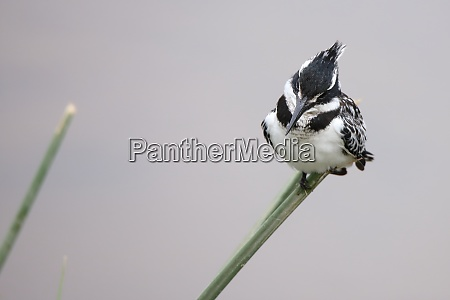 pied kingfisher sitting on a blade