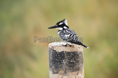 pied kingfisher sits on a stake
