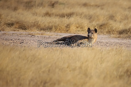 a spotted hyena is lying on