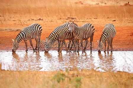 five, zebras, at, the, waterhole - 26897636