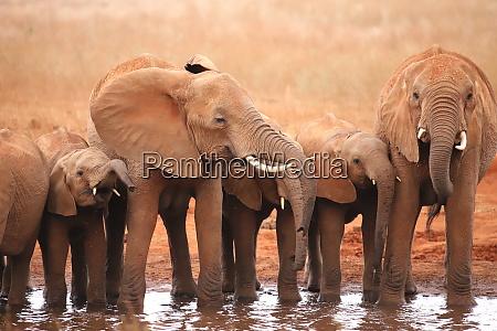 un gruppo di elefanti in una