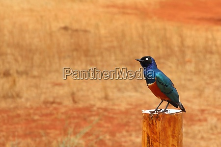 superb, starling, sits, on, a, wooden - 26938070