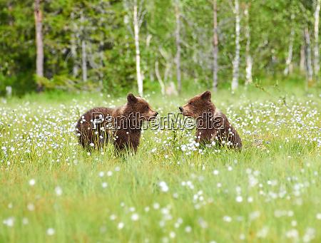 due giovani orsi in mezzo ai